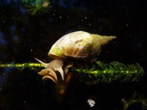 water_snail_rex_2