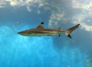 requin_pointe_noire